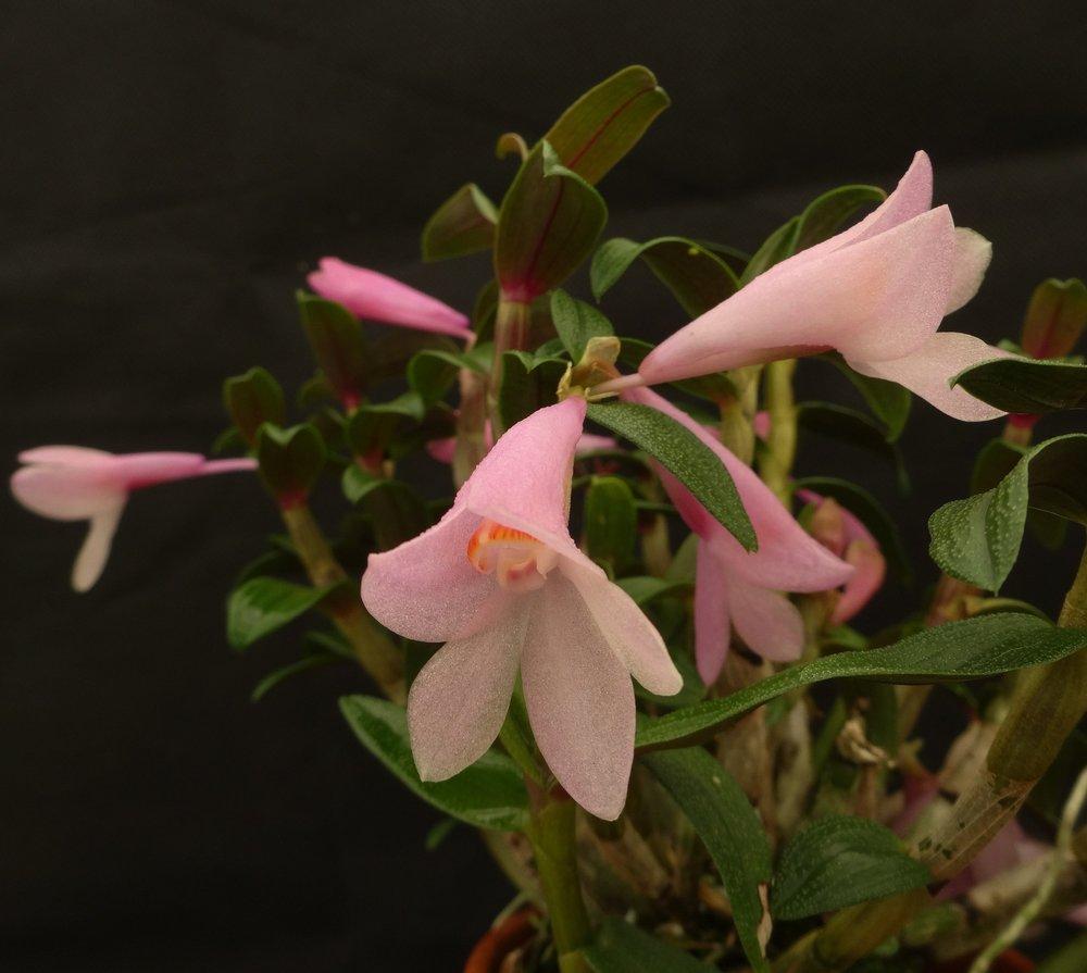 "Dendrobium ""ophano""  x  D. cuthbertsonii  ex-Ecuagenera (GGO)"