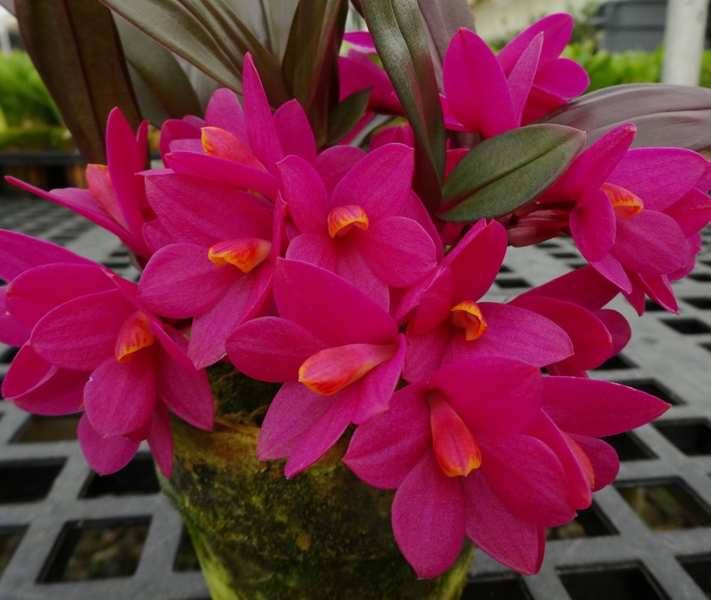 Dendrobium laevifolium,  very nice clone (GGO)