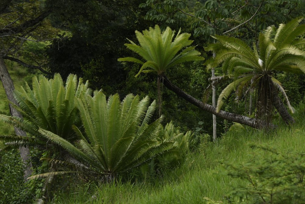 "An ancient grove of  ""Palma Teusinte"", Dioon mejiae,  Olancho, Caribbean lowlands of Honduras (Image: F. Muller)"