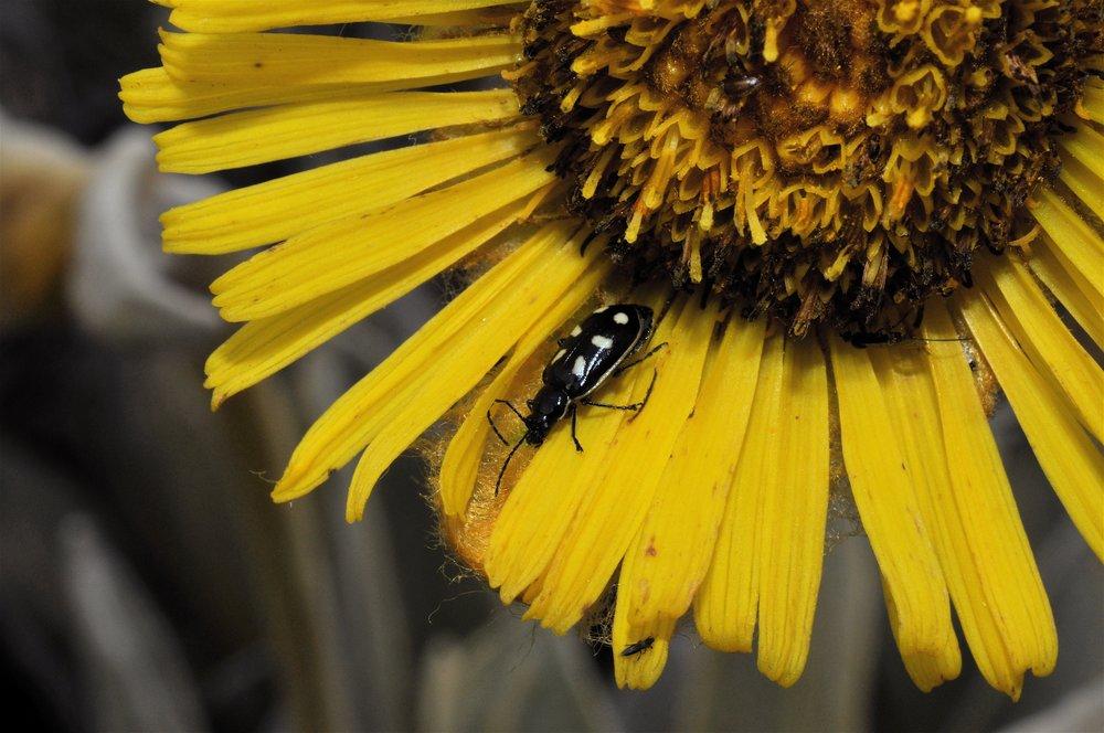 Carabid beetle on  Espeletia grandiflora  flower (Image: P. Rockstroh)
