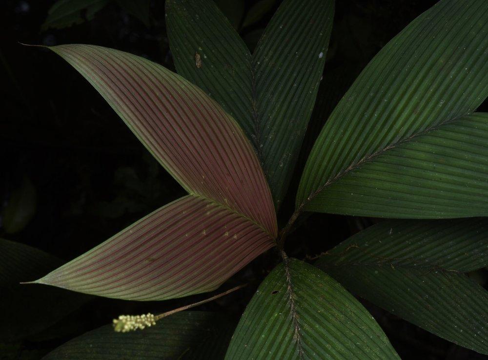 Geonoma hugonis,  new leaf, Chiriquí Province, Panamá (Image: F. Muller).