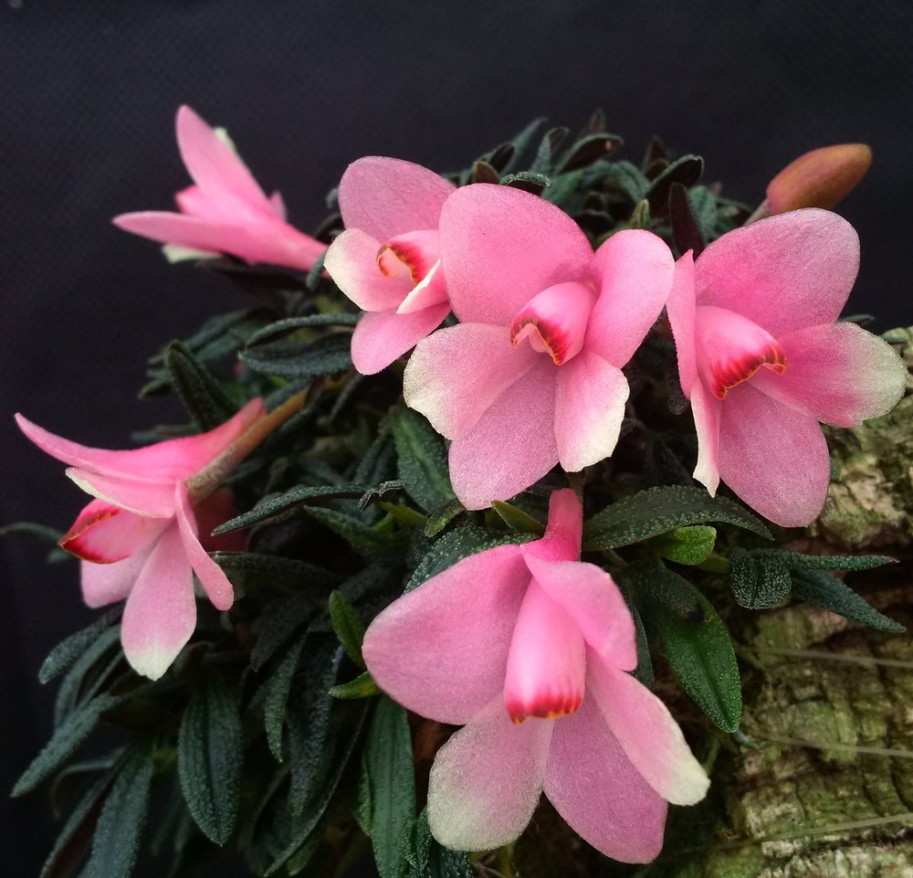 Dendrobium cuthbertsonii , 'Pink Flare', select form of wild-type PNG origin