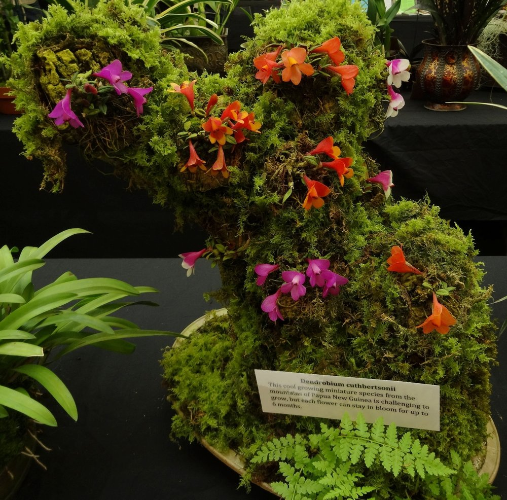 """A beautiful display of a number of top-quality examples of the various color forms of  Dendrobium cuthbertsonii  staged on   a mossy log and exhibited for """"Orchids in the Park 2018"""" San Francisco, California. Grower and designer Tom Perlite, Golden Gate Orchids"""