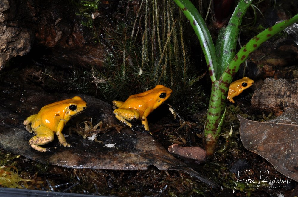 Courtship in captive  Phyllobates terribilis  in captivity in Colombia