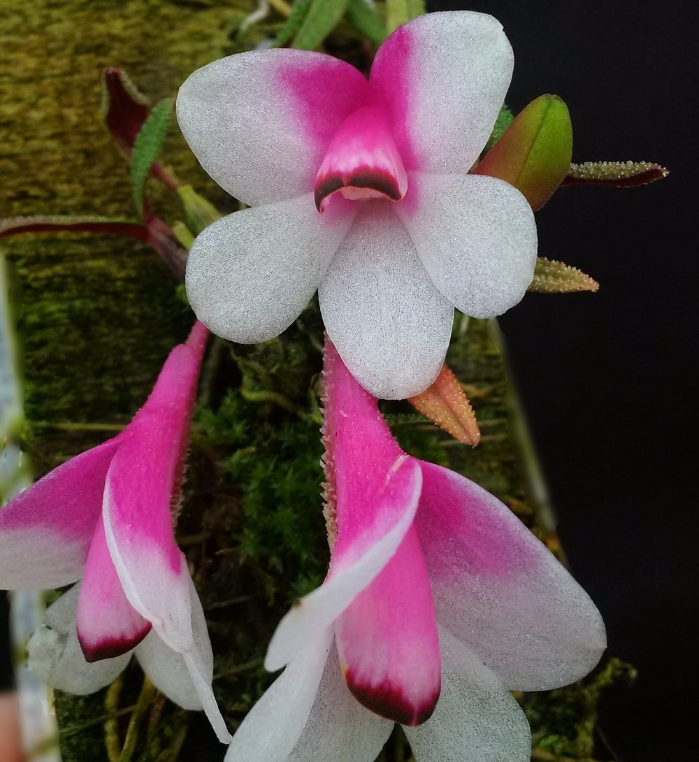 "Dendrobium cuthbertsonii  - exceptional pink and white bicolor form of ""Panda"" type (GGO)"