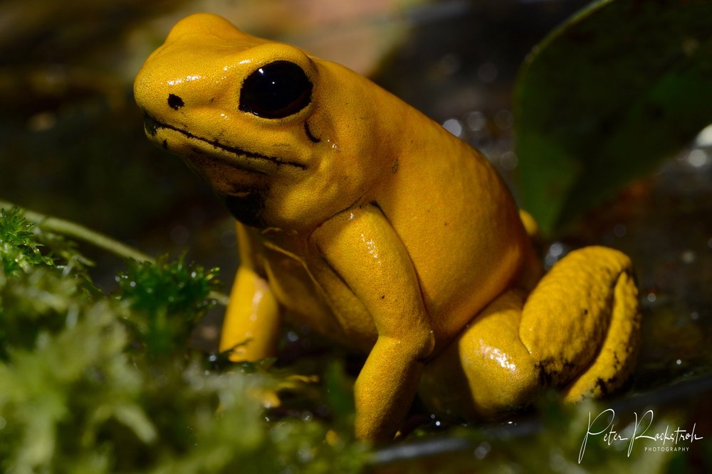 Portrait of a superb captive-bred yellow phase  Phyllobates terribilis  in Colombia