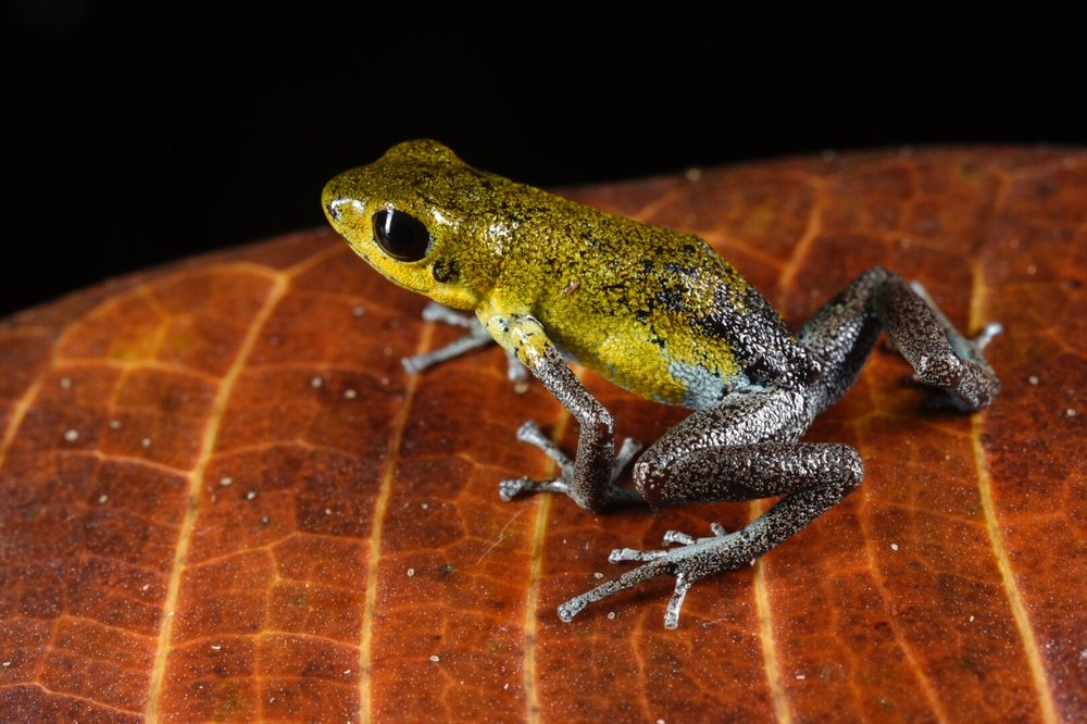 Oophaga pumilio , gold and gray morph, Bocas del Toro, Panamá (Image: F. Muller).
