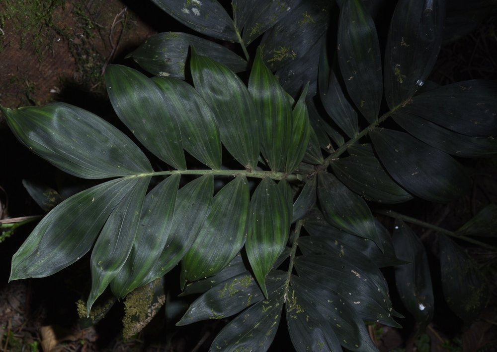 The delicate and challenging Panamanian velvet palm,  Chamaedorea pittieri,  Chiriquí Province, Panamá (Image: F Muller).