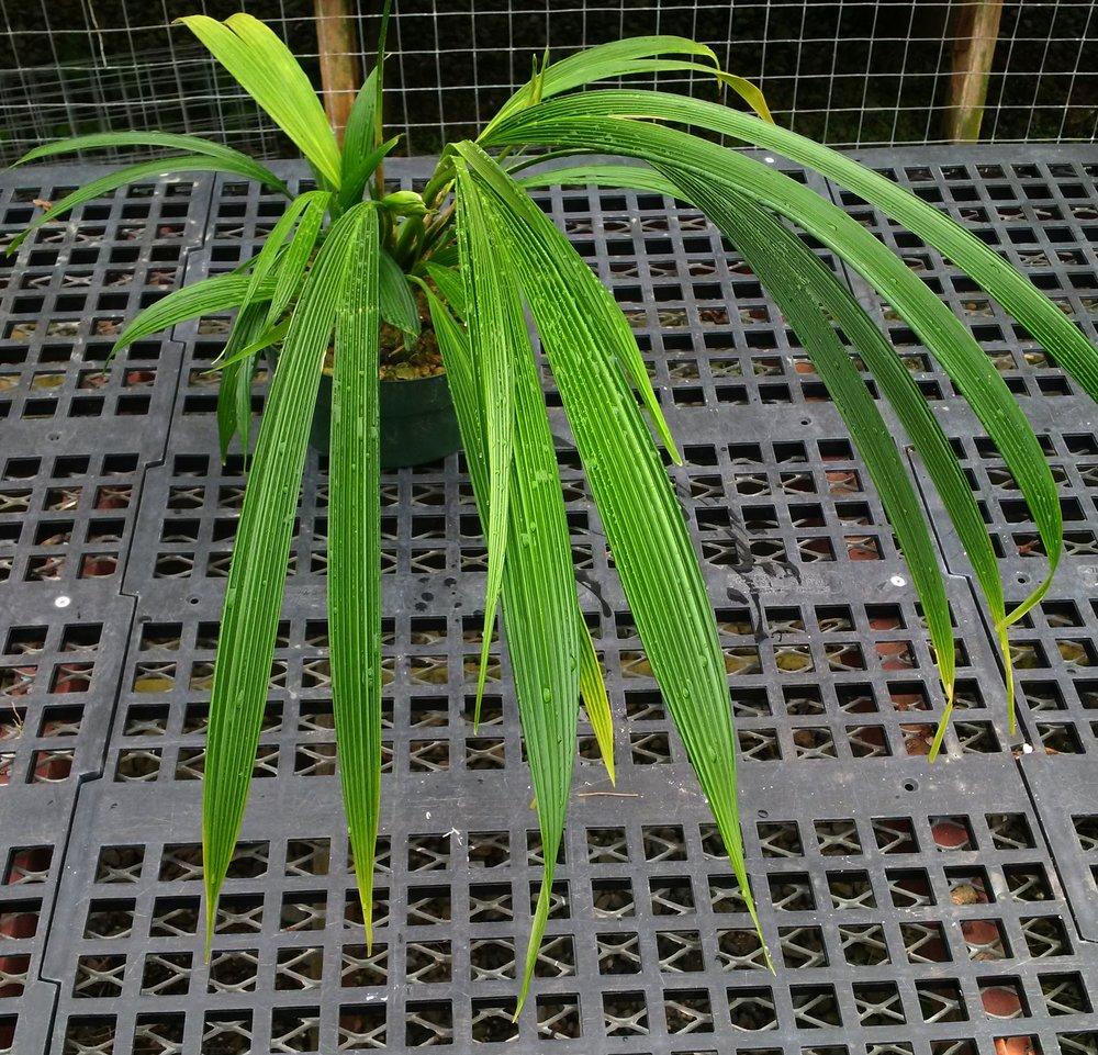 Dicranopygium stenophyllum
