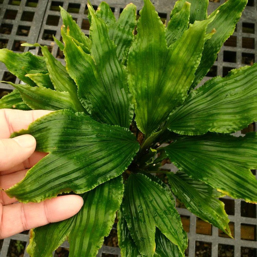 Dicranopygium sp Ecuador.jpg
