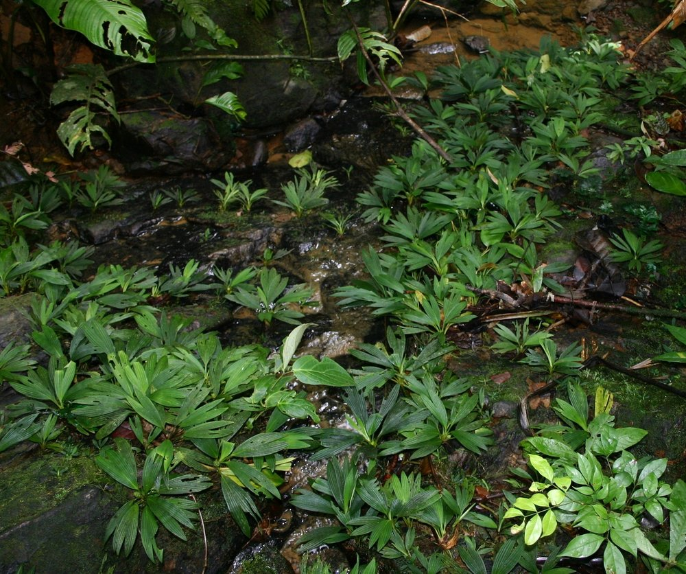 "Large colony of  Dicranopygium cf. harlingii "" Dwarf "",  rheophytic in lowland tropical rainforest, Guna Yala, Panamá"