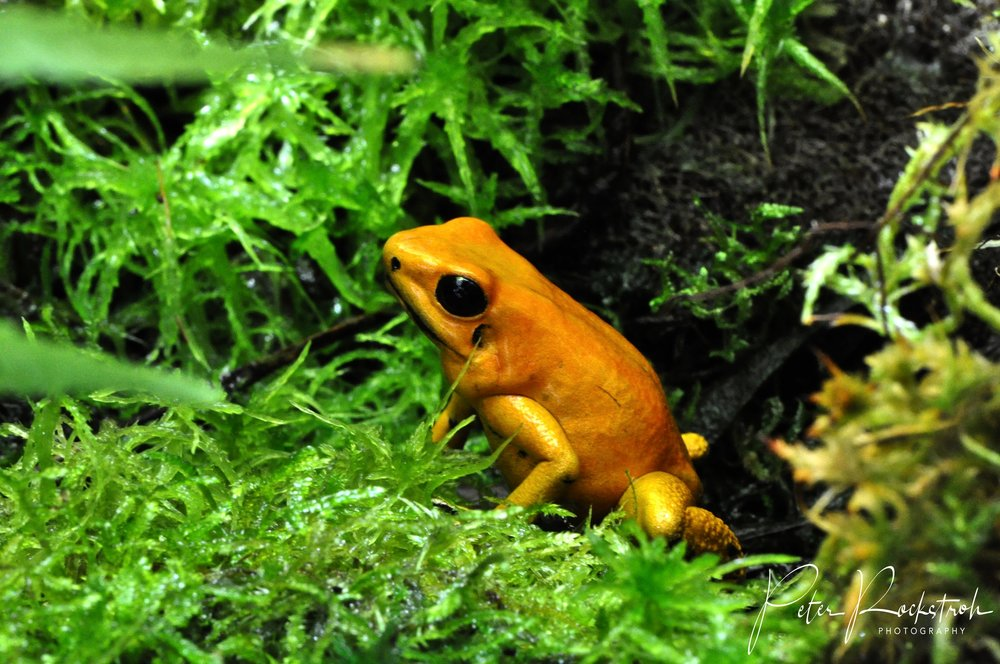 Orange morph  Phyllobates terribilis