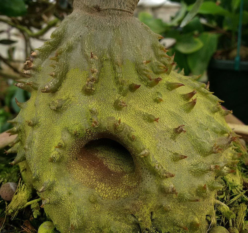 Young caudex of the giant montane Papuan  Hydnophytum ramispinum