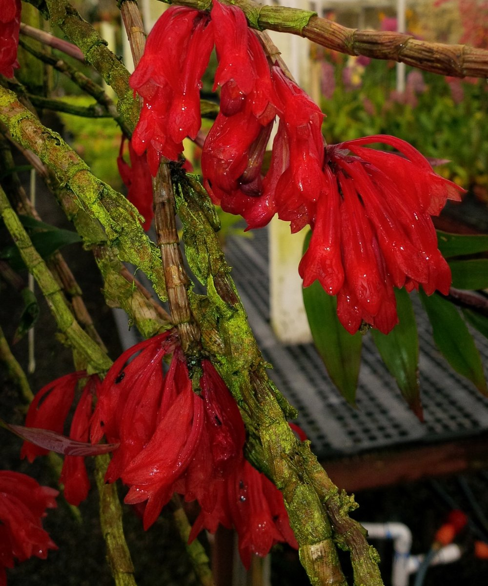 Dendrobium lawesii , bright red-flowered form