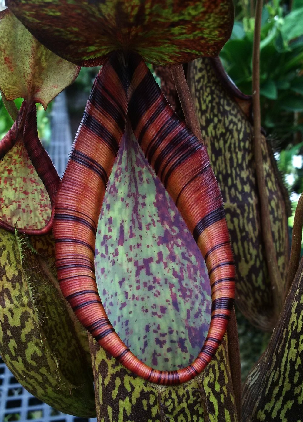 Peristome detail of the endangered natural hybrid Sumatran pitcher plant,  Nepenthes rigidifolia x spectabilis