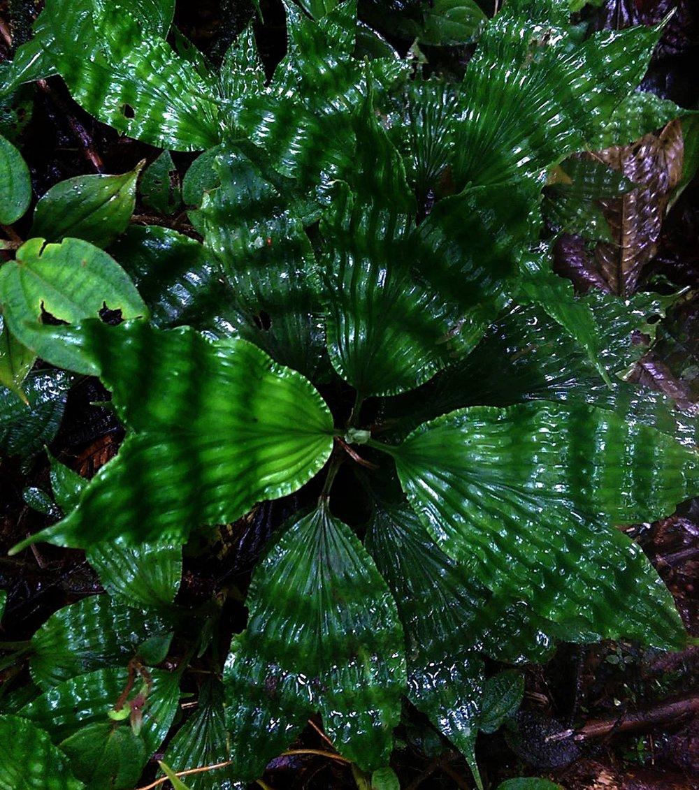 Dicranopygium Ecuador - Copy.jpg