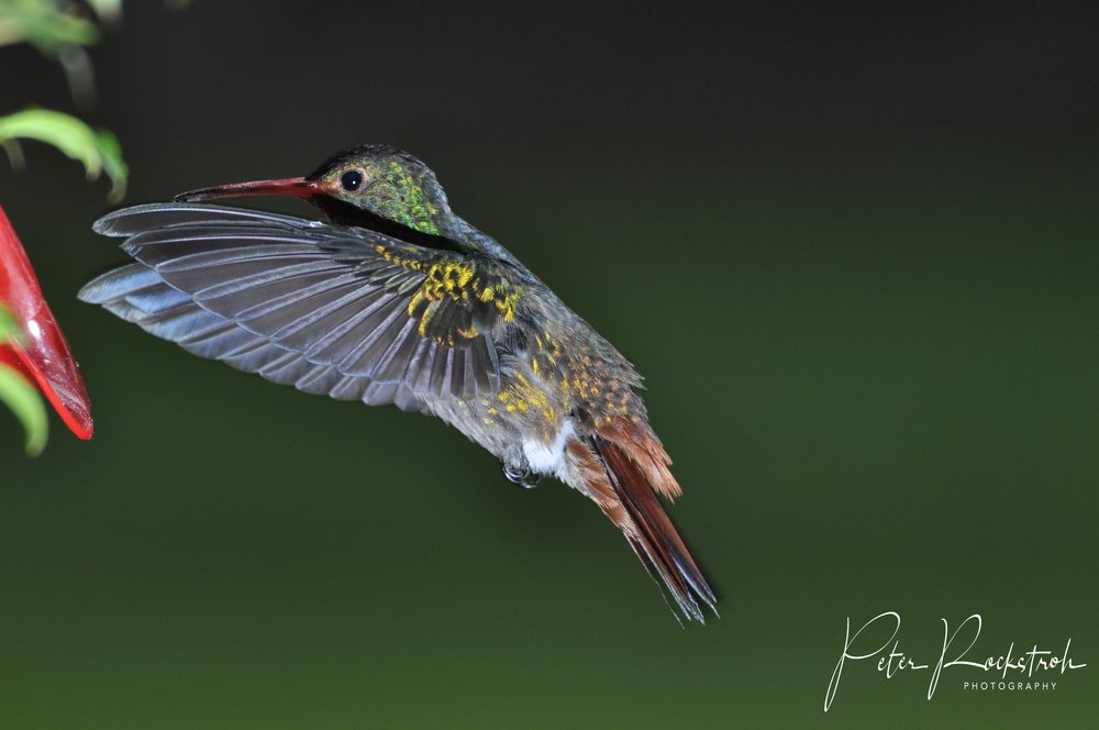Rufous-tailed hummingbird,  Amazilia tzacatl.  In my view, the first acceptable image that I took of a hummingbird in flight