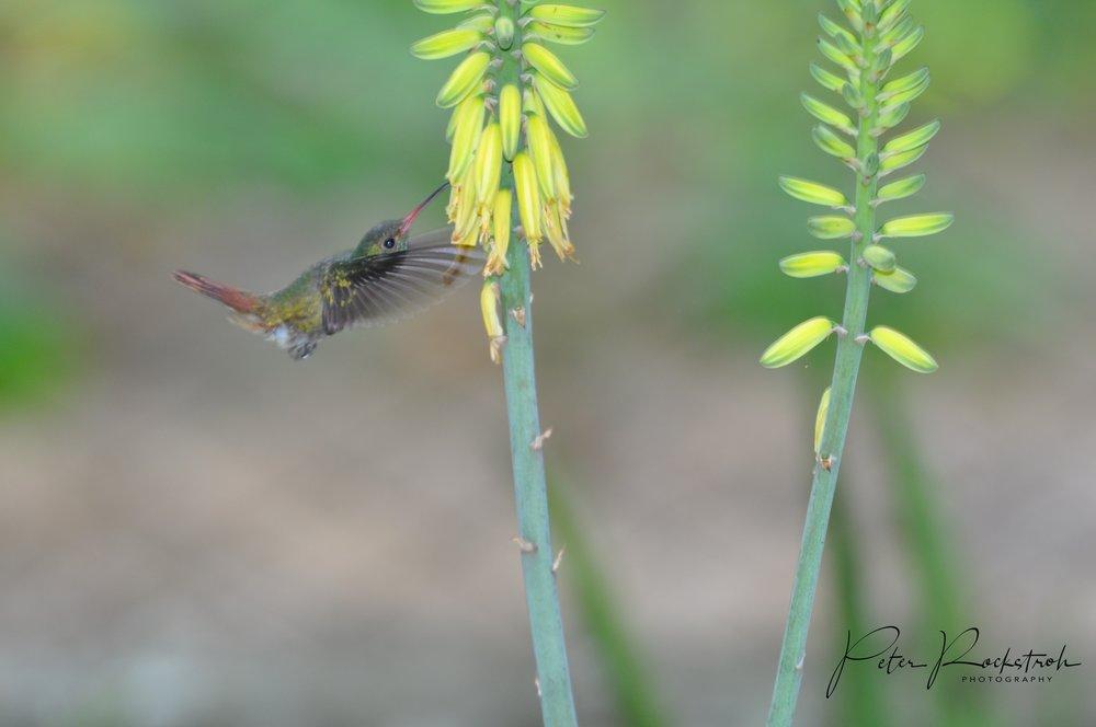 Rufous-tailed hummingbird,  Amazilia tzacatl , on introduced  Aloe sp.,  daylight + flash