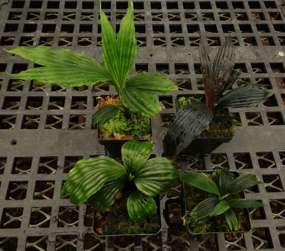 "Dwarf cyclanths suitable for small terraria shown above at the typical size that I distribute them at in 3""/8 cm pots. Clockwise from top right,  Dicranopygium sp.  ""Dwarf Violet"",  D. cf. harlingii  ""Dwarf"",  D. sp. "" Guna Yala Round"" and  D. sp. "" Ecuador Dwarf"""