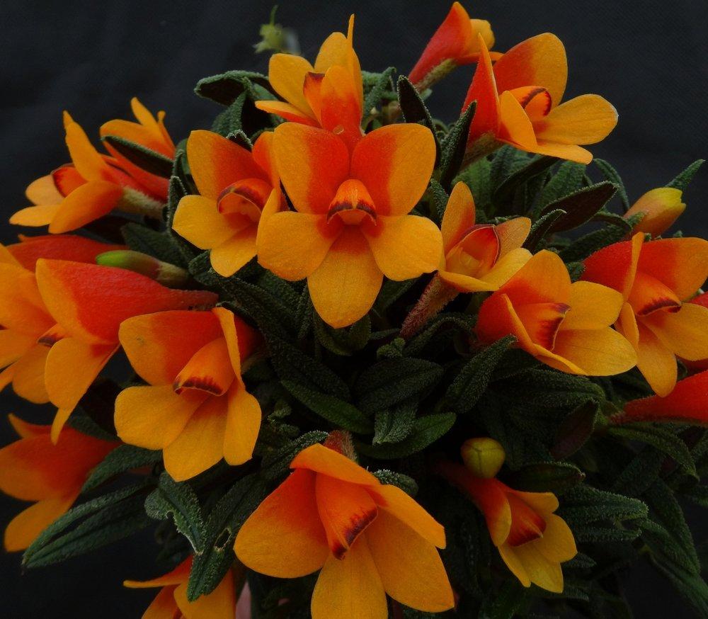 Dendrobium cuthbertsonii,  bicolor orange form