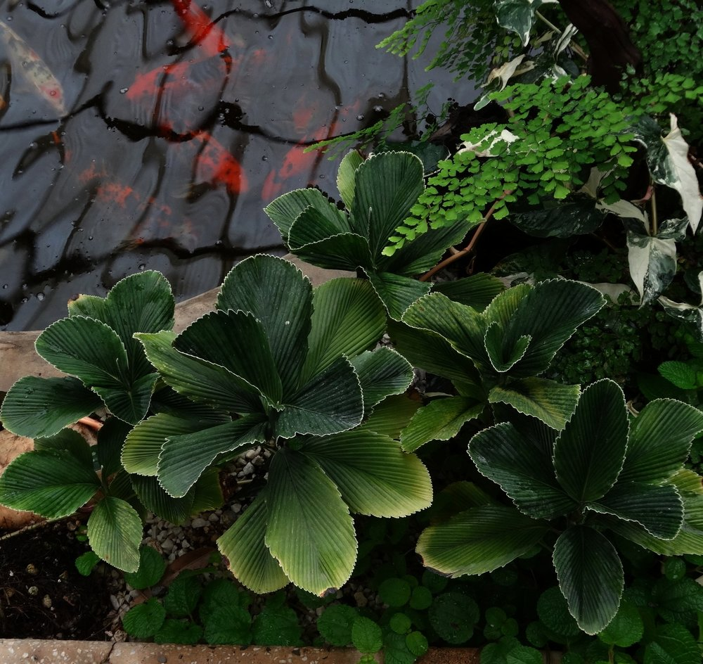 """A group of my F1  Chamaedorea tuerckheimii , Alta Verapaz """"blue"""" ecotype, edging the koi pond of a friend's indoor conservatory in Guatemala City, Guatemala."""