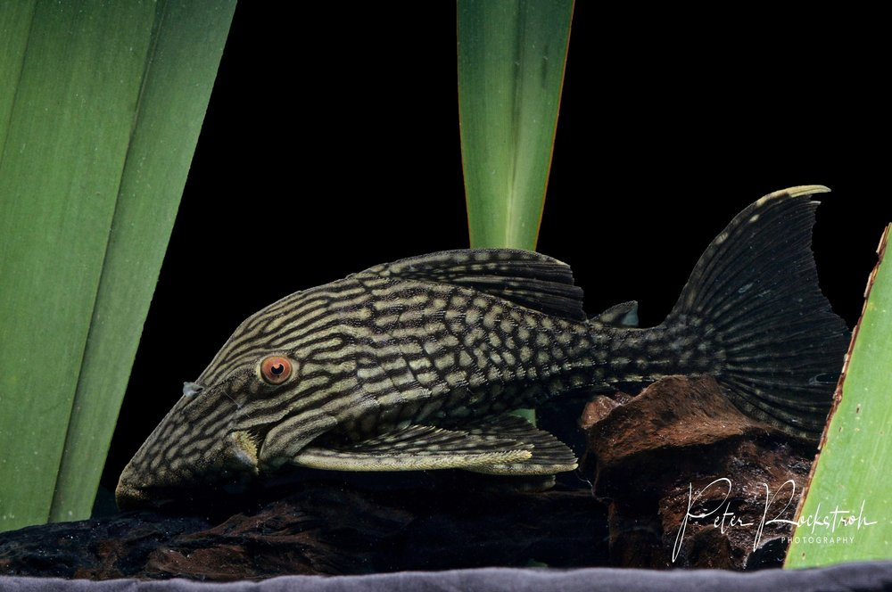 Royal pleco catfish,  Panaque nigrolineatus
