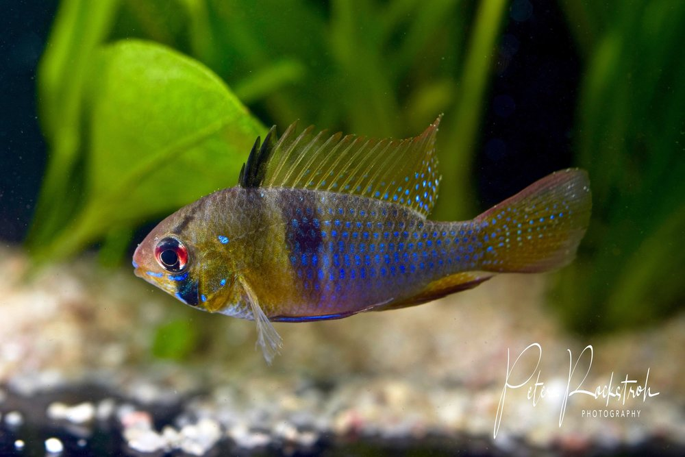 The familiar Ram cichlid, male in breeding color,  Mikrogeophagus ramirezi