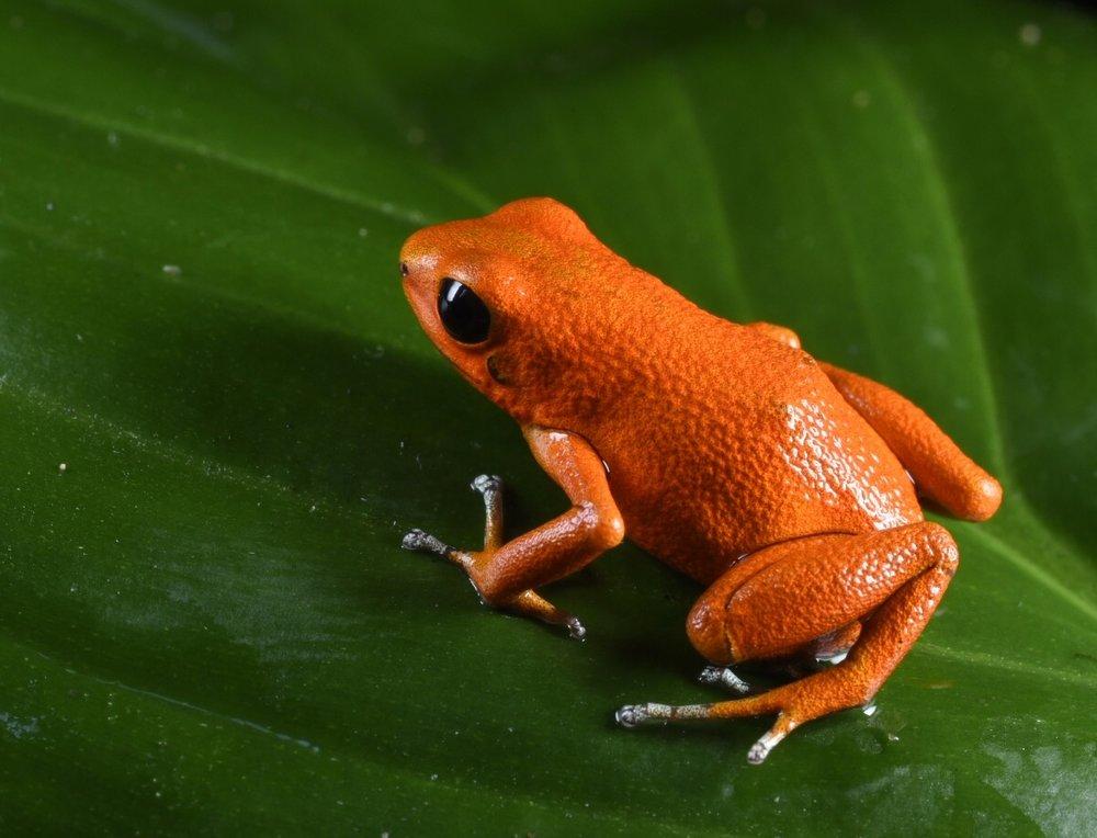 Oophaga pumilio,  pure orange morph, Bocas del Toro, Panamá (Image: Fred Muller).