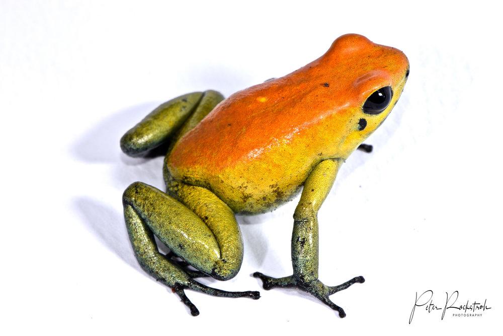 Phyllobates bicolor , orange morph
