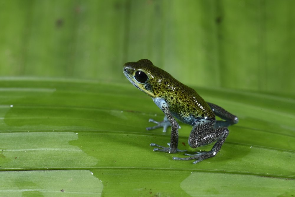 Oophaga pumilio , green and blue morph, Bocas del Toro, Panamá (Image: Fred Muller).