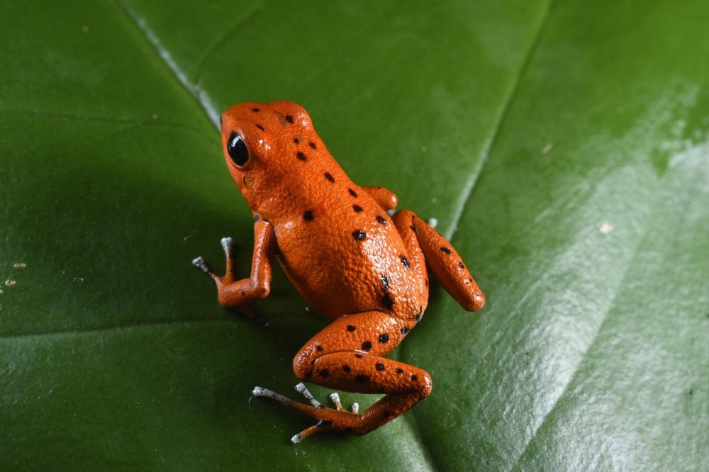 Oophaga pumilio , polka dot orange morph, Bocas del Toro, Panamá (Image: F. Muller).