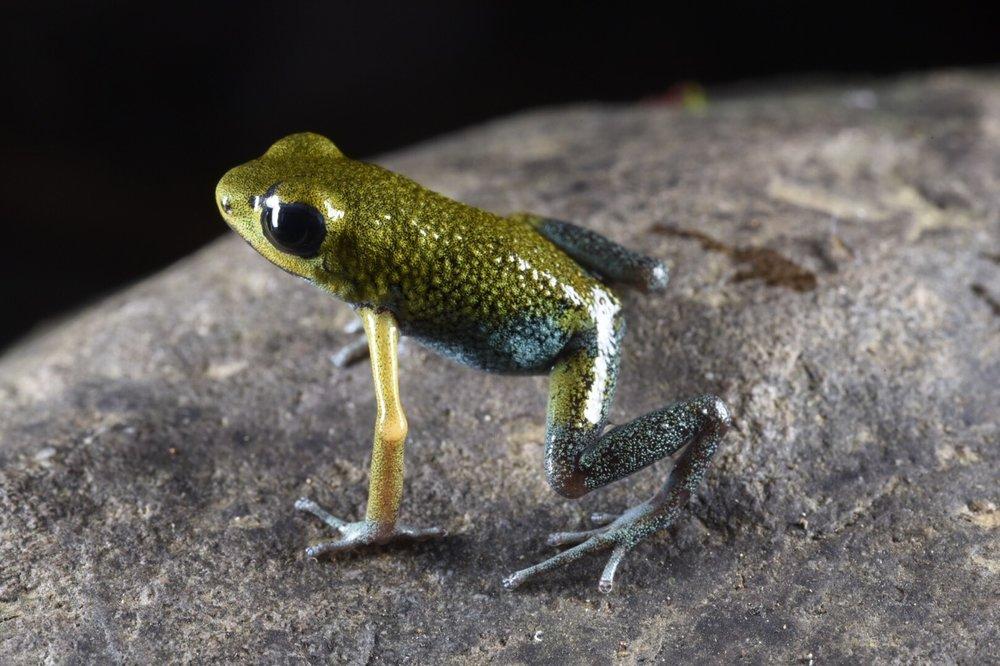 Oophaga granulifera , green phase, San José Province, Costa Rica (Image: F. Muller).