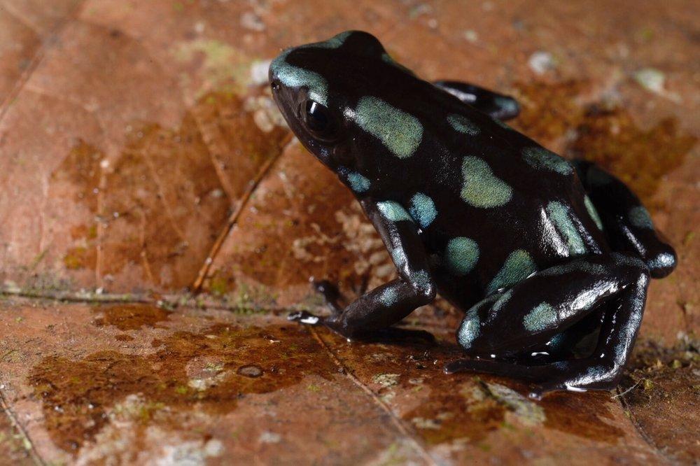 "Oophaga pumilio,  another ""false  auratus "" morph , Bocas del Toro, Panamá (Image: F. Muller)."