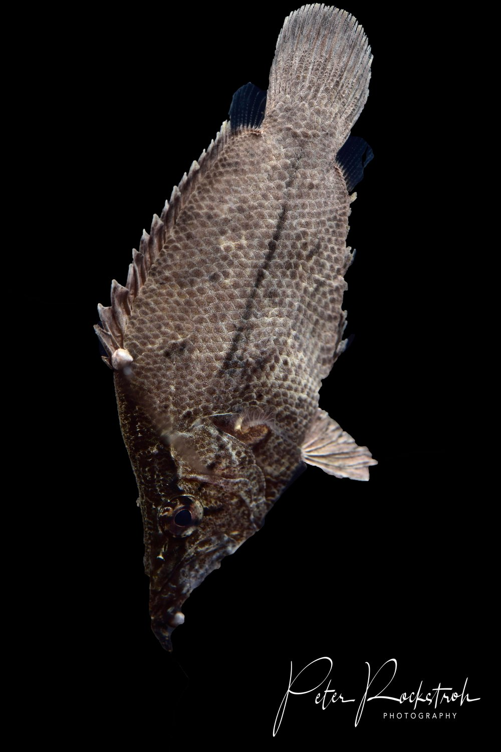 Headstanding Amazon leaffish,  Monocirrus polyacanthus