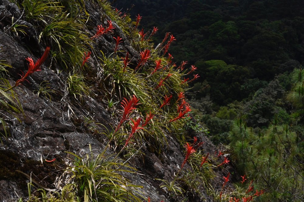 Colonial  Pitcairnia sp. aff. ringens  as lithophytes, upper montane wet forest, Sierra de las Minas, El Progreso Department, Guatemala (Image: F. Muller)