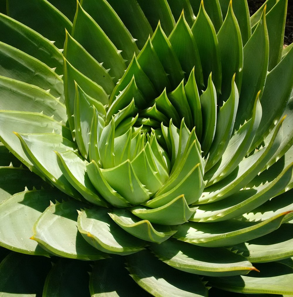 Aloe polyphylla center.jpg