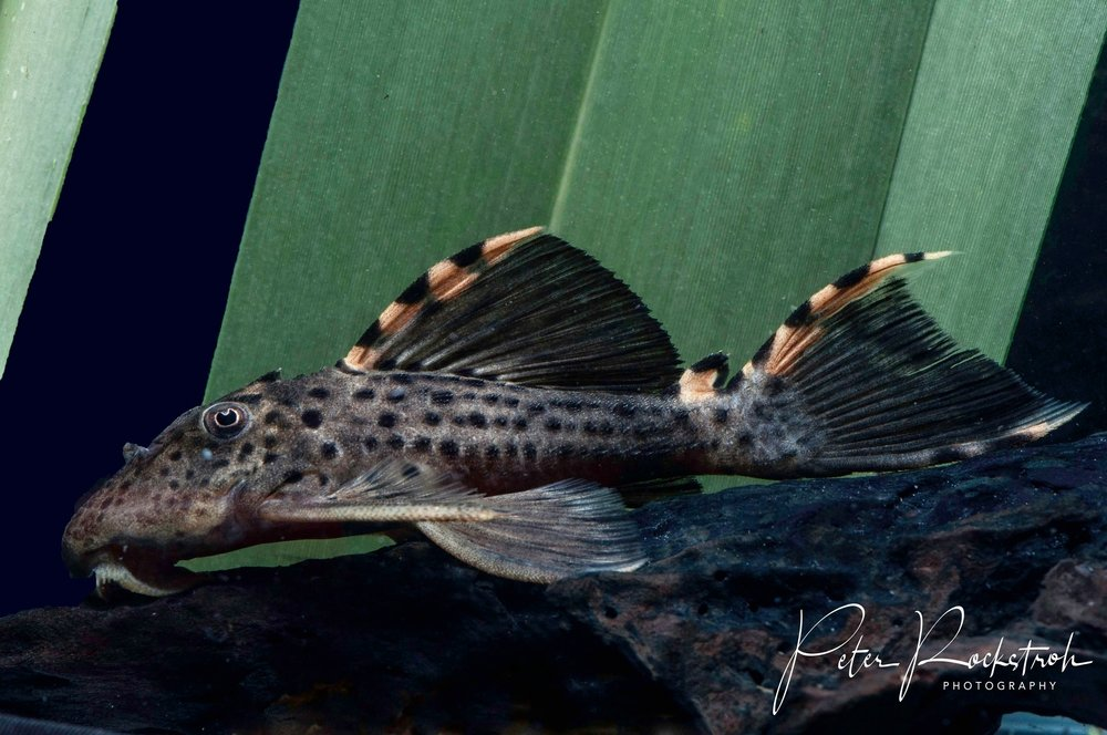 Three-beacon Pleco catfish,  Leporacanthicus triactis