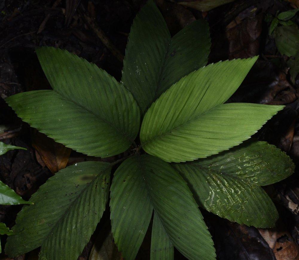 Chamaedorea pumila , Costa Rican highland form, San Jose Province, Costa Rica (Image: F. Muller).