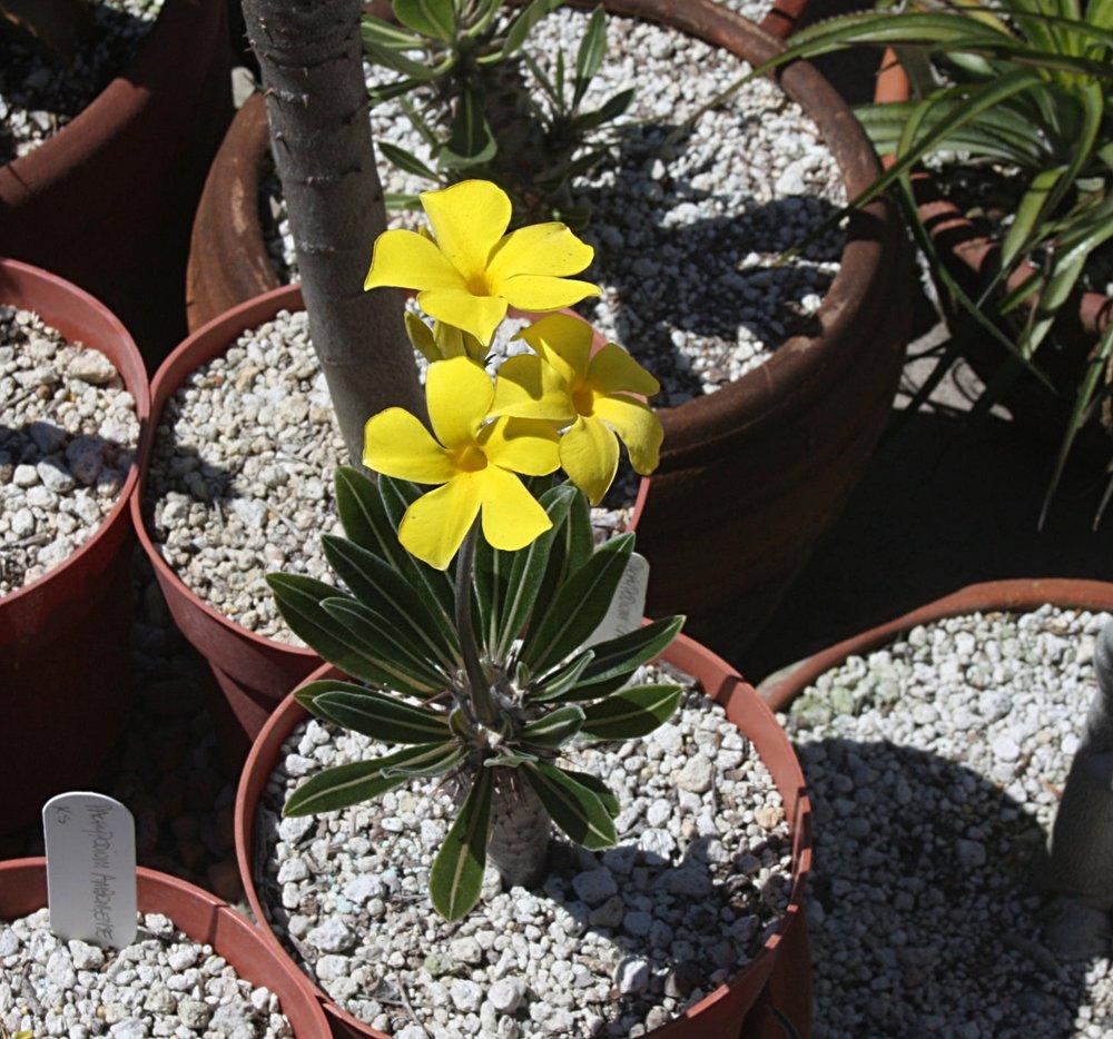 Pachypodium rosulatum  August 2012