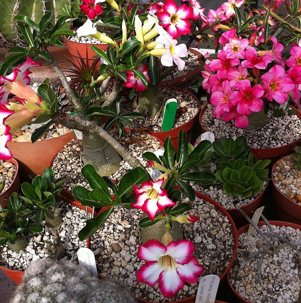 Adenium  hybrids, mixed forms May 2012