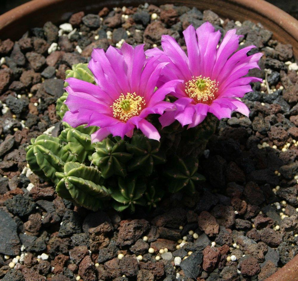 Echinocereus viereckii moricallii  March 2008