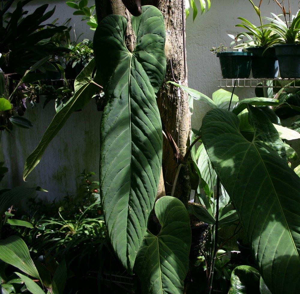 Anthurium panamense  June 2006