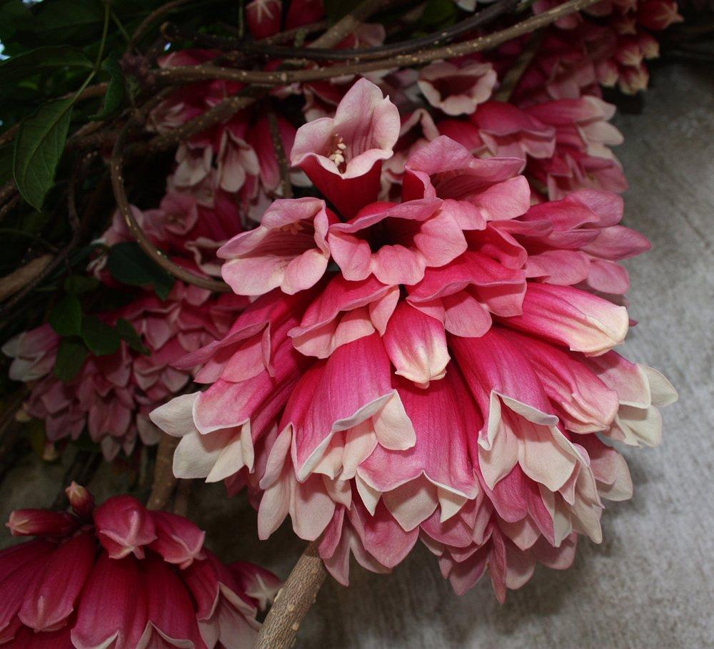 Tecomanthe dendrophila  flower detail March 2010