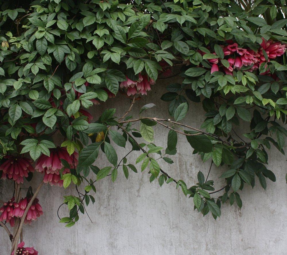 Tecomanthe dendrophila habit March 2010.JPG