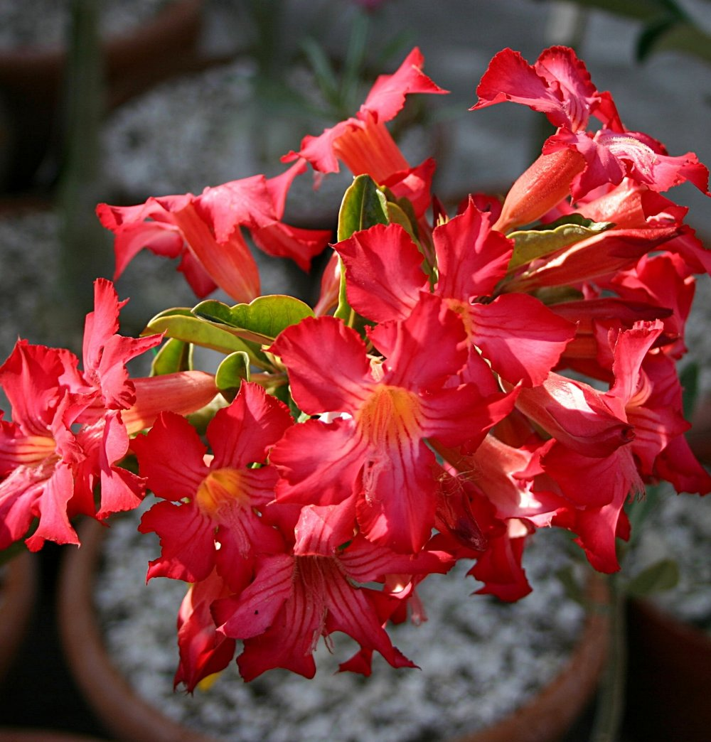 Adenium somalense  hybrid May 2010