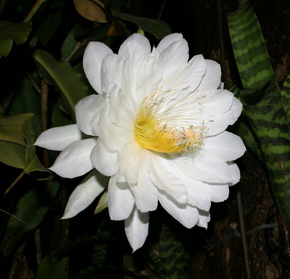 Epiphyllum thomasiae  May 2008