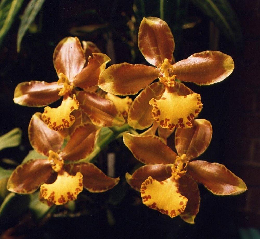 Rossioglossum splendens  October 2000
