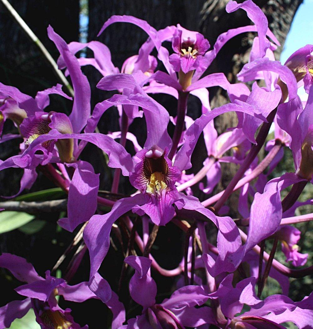 Laelia superbiens  flower detail August 2009