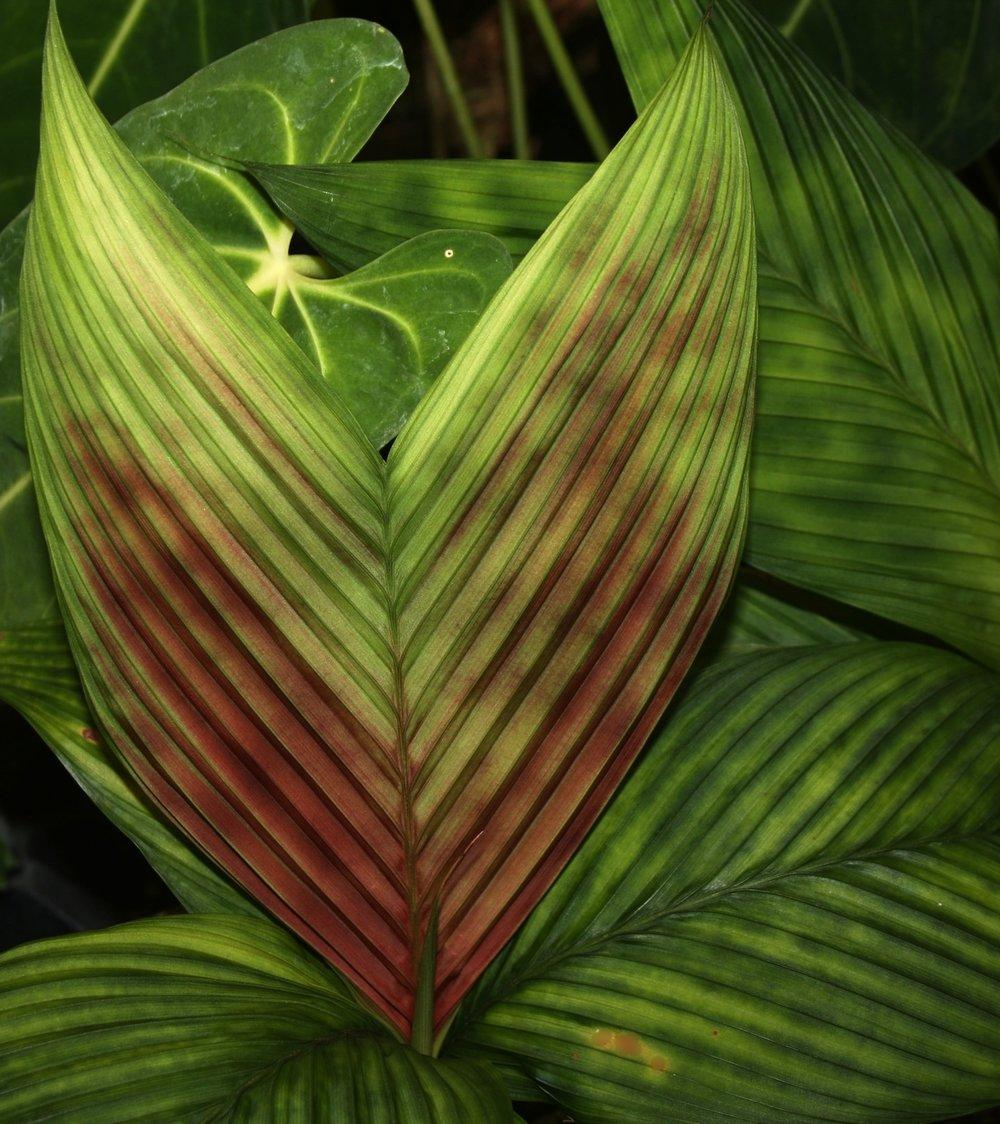 Geonoma epetiolata  new leaf   January 2010