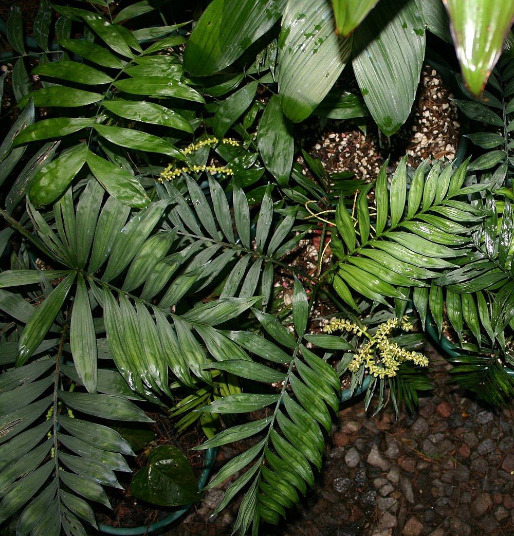 Chamaedorea stenocarpa  group June 2006
